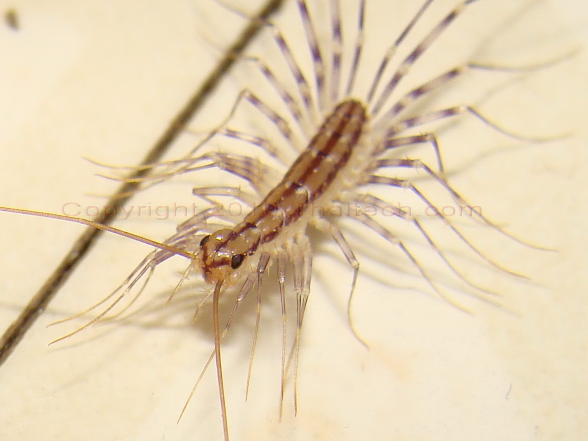 House Centipede Eating Bed Bugs
