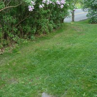 New grass (dark green) along left side by bushes. This area was all moss