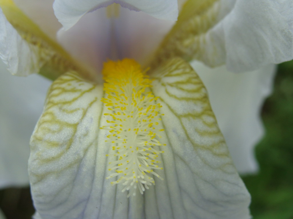 Iris Flower Closeup
