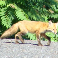 Some Photos of Red Foxes