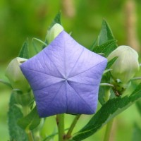 Some New Flowers Popped Up – They are Platycodon Grandiflorus