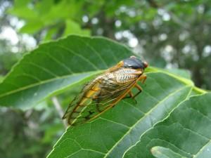 Cicada NY 2013